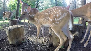 White Tailed Deer FAWNS Feeding