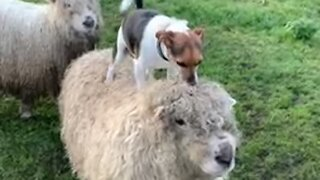 Dog decides to jump on top of sheep, shows off balance skills