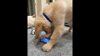 Frustrated puppy totally rage quits mobile video game