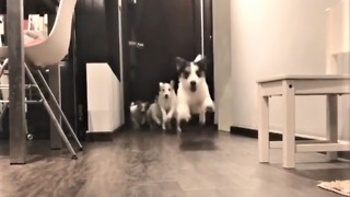 Jack Russell Terriers preciously run to greet owner - Video