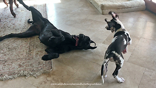 Barking Bouncing Great Dane Puppy Pesters Patient Sister Dog  - Video