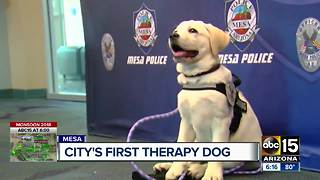 Mesa police launches therapy canine program - Video