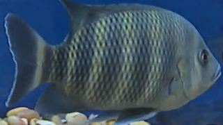 Humans are ingesting fish antibiotics to treat their own illnesses - Video