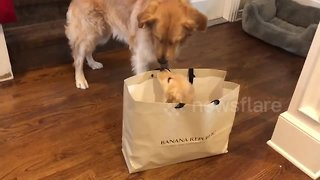 Golden retriever's super-excited reaction to a new puppy little sister