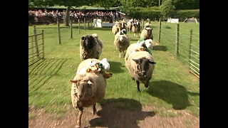 Sheep Racing! - Video