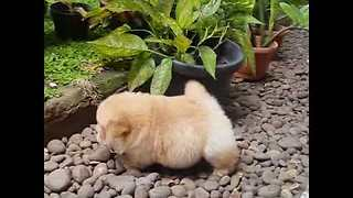 Chow Chow Puppy is Beyond Cute - Video