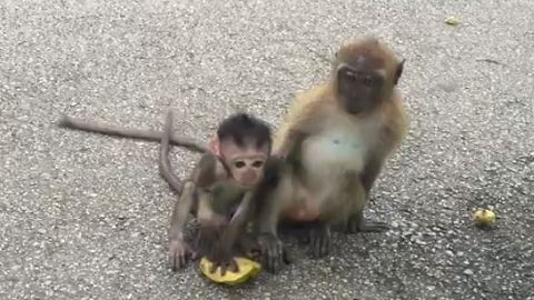 Adorable Wild Newborn Monkey Playing With Big Monkeys