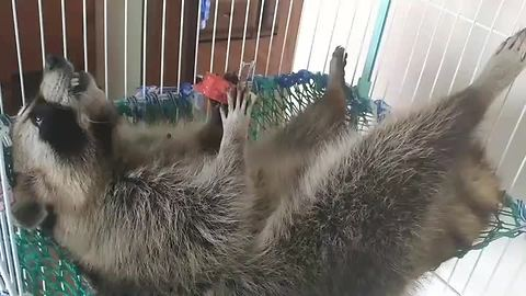 Raccoon eats watermelon, enjoys the good life