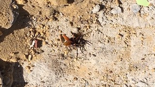 Australian Hornet Battles Hunstman Spider - Video