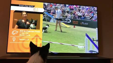 Border Collie Enthusiastically Watches Himself Win Agility Competition On TV