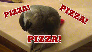 Einstein the parrot vocally asks for pizza