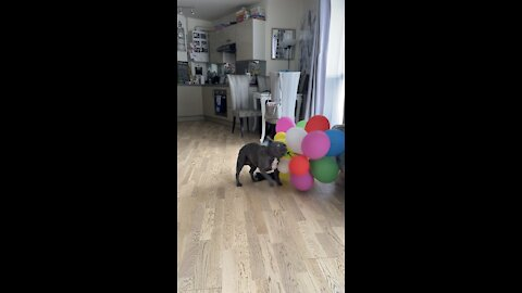 Balloon loving dog having the time of his life