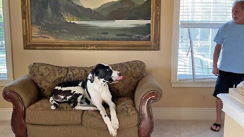 Guilty Great Dane destroys blinds in order to look out window