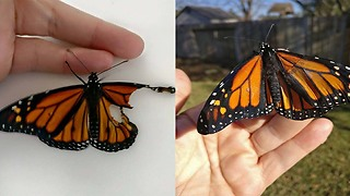 Woman Performs Surgery On Injured Butterfly And Saves Its Life - Video