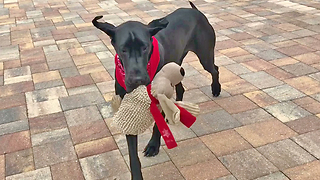 Great Dane pup takes her toy for a walk