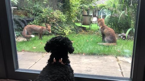Adorable dog has 'standoff' through window with three young foxes