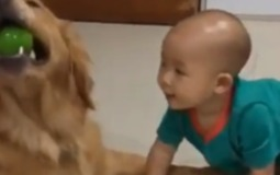 Golden Retriever and Her Tiny Human 'Fight' Over Ball