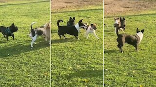 Socially awkward pup adorably makes friends at the dog park