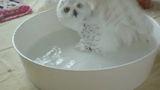 Magnificent Snowy Owl Adores Bath Time  - Video