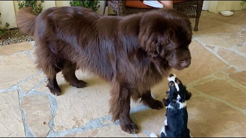 Giant Newfoundland and tiny Cavalier Spaniel puppy are the best of friends
