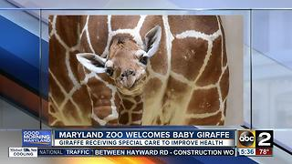 Maryland Zoo welcomes new baby giraffe - Video
