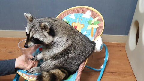 Pet raccoon totally bamboozled by owner's magic trick