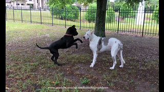 Adopted Great Dane encourages deaf senior dog to play