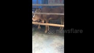 Cow born with six legs - Video