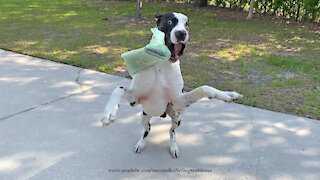 Great Dane isn't the most reliable newspaper delivery guy