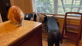 Happy cat and Great Danes enjoy breakfast together