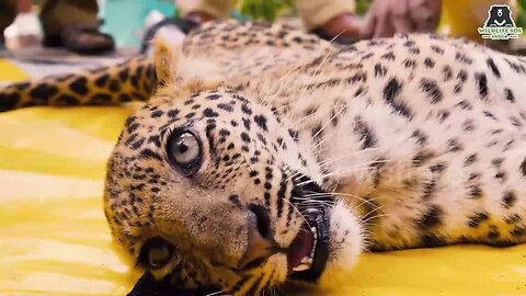 Moment when leopard cub returns to the wild after miraculous paralysis recovery