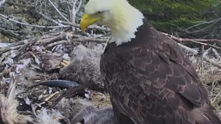 Santa Cruz Island Earthquake Startles Bald Eagle and Chicks - Video