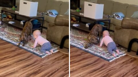 Gentle pup plays keep-away from baby best friend