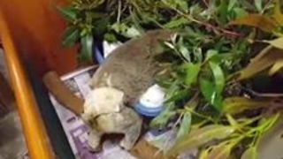 Cute Koala Regains Strength After Breaking her Leg - Video