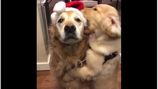 Puppy steals Santa hat from tolerant Golden Retriever