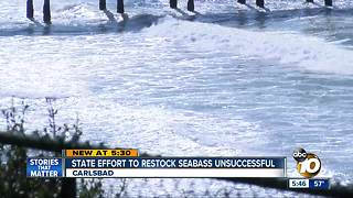 Seabass restoration effort flops - Video