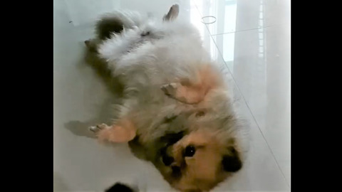 Pomeranian Refuses To Stand Up Until He Hears The Magic Words