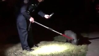 Police catch loose pig in Harper Woods - Video