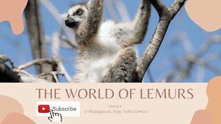 The world of lemurs - Lemurs of Madagascar, Ring-Tailed Lemurs