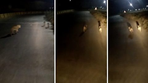 Lioness out on evening stroll with three little cubs on highway chased away by trucker in India