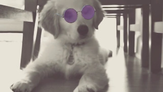 Fluffy golden retriever puppy knows how to strike a pose  - Video