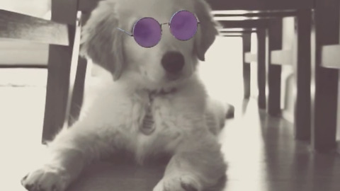 Fluffy golden retriever puppy knows how to strike a pose