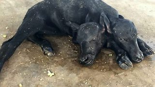 Buffalo gives birth to two-headed calf in Pakistan - Video