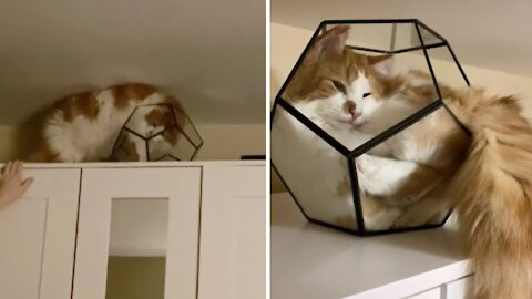 Crazy cat loves to find unattainable beds for nap time