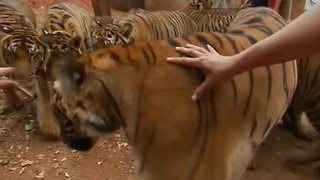 Tiger Temple looses bid to extend their zoo license - Video