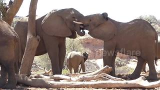 Elephants interlock trunks in show of love - Video