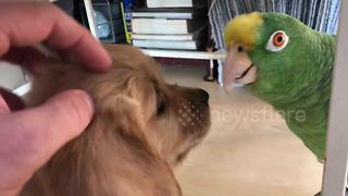This is what happens when a golden retriever puppy meets a parrot