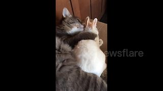 Cat and bunny are adorable snuggle buddies - Video