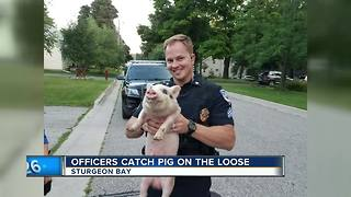 Sturgeon Bay Officers catch loose pig - Video