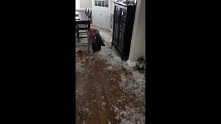 Naughty dog scatters pillow feathers around the house